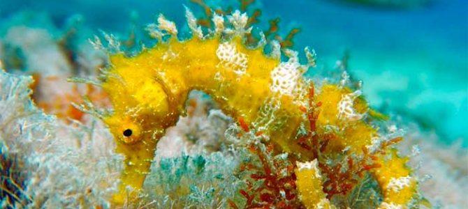 Hallan ejemplares de caballitos de mar en aguas de las islas Cíes