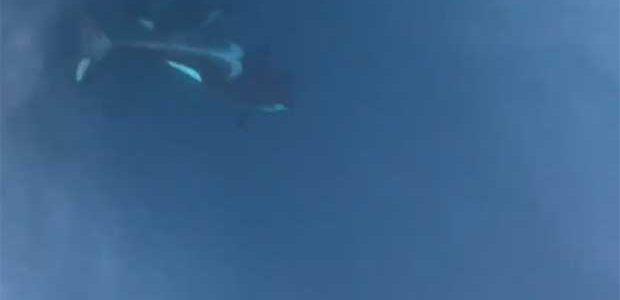 Orcas atacan a un velero en aguas de Corrubedo (A Coruña)
